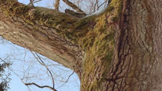 Tree trunk. Tree bark. Closeup. Oak tree in winter. Tree in winter forest. Macro. Panorama of old oak tree in winter forest. Close up. Strong oak tree. Tall tree in winter forest. Moss on tree bark