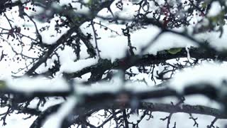Tree with berries around snow falls