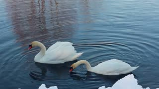 Two white swans near snow covered riverbank. Closeup. Swans couple in winter lake. White swans on water. White swans swimming on lake. Snow on river bank. Snow on river bank. Winter scene