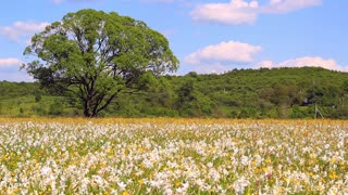 Beautiful daffodils field on spring day. Daffodils growing in the field. Beautiful panorama with field of white daffodils. Splendid flower landscape