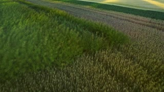 Beautiful landscape wheat field in agricultural land. Green agricultural field on summer day. Drone view wheat growing on farming field. Grain field aerial landscape. Farming land