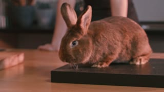 Brown rabbit sitting on black board. Fluffy bunny stare look at camera. Cute rabbit sniffing. Zoom in bunny sitting on table. Woman standing behind rabbit. Elegant pet