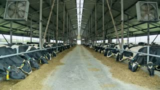 Cows eating hay in barn. Modern dairy farm. Animals on dairy farm. Cattle in modern dairy farm. Dairy cows eating hay in barn. Cows breeding at farm. Agriculture industry