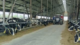 Cows in modern barn on dairy farm. Feeding cow on dairy farm. Livestock farming. Cows in modern barn. Tractor moving in farm barn. Agriculture industry. Milk farm