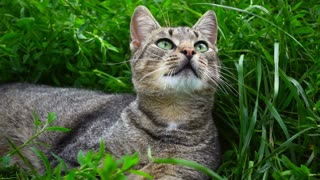 Cute cat on field of green grass. Bright green grass in summer day. Close up pretty grey cat with green eyes. Beautiful environment with home pet. Cat relaxing in nature green grass