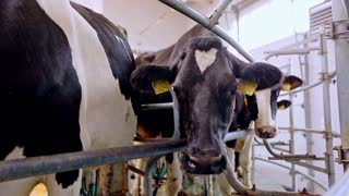Dairy cows on milk farm. Close up milking cow head. Process milking dairy cows on milk factory. Automated equipment on dairy farm. Equipment for milking cows in farm