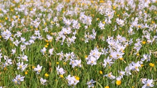 Field of daffodil flowers stock video footage videoblocks field of flowering daffodils and buttercups beautiful flower bed flower clearing spring bed mightylinksfo