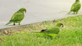 Flock parrots birds walking on summer park. Close up green wavy parrots playing on grass and sidewalk road. Flock wavy parrots on green meadow