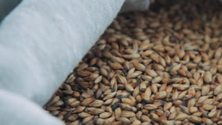 Grains of wheat in sack. Close up rotten wheat. Organic wheat grains. Bag with grain. Natural ingredients for bread preparation