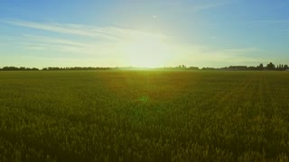 Green wheat field landscape. Happy woman standing in green field with hands up. Aerial view young woman walking in summer field. Beautiful landscape green grain field aerial
