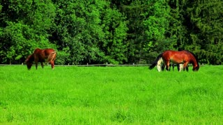 Horses graze on green field. Herd horses grazing on pasture. Herd horses eats green grass on fenced pasture. Rural landscape. Farm animals graze on green meadow