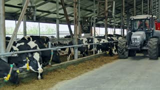 Livestock farm. Tractor in barn. Cow eating hay on dairy farm. Dairy cows in modern barn. Cattle on agricultural farm. Dairy industry. Cows feeding on dairy farm. Agriculture industry