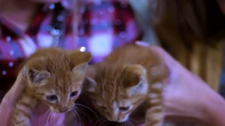 Lovely red kittens in female arms. Nice domestic animals. Little kittens in woman hands at night. Two beautiful restless kittens. Red small cats. Little pussycats