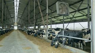 Milk cow in modern barn. Milk cows feeding. Cows in barn on modern dairy farm. Milk farm. Domestic animals at farm. Farm animal. Cows feeding. Dairy industry