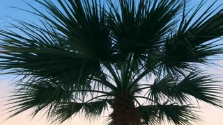 Palm tree leaves of evening sky background. Beautiful tropical plant. Close up rotating coconut tree at sunset sky. Nature travel adventure. Exotic holiday and vacation