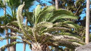 Palm tree with large green leaves. Tropical background. Palm trees on tropical coast. Big green branches. Palm trees branches fluttering in wind
