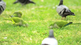 Parrots birds graze on green grass. Green wavy parrots and pigeons walking on summer meadow. Flock wavy parrots eating fresh grass on green meadow