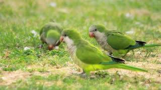 Parrots birds walking on green grass. Green wavy parrots playing on summer meadow. Flock wavy parrots eating fresh grass on green meadow