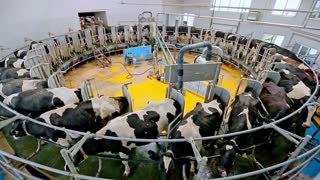Dairy Cows On Milking Machine Automated Equipment For