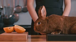 Rabbit sitting on board at kitchen. Woman hand stroking rabbit. Brown rabbit and orange fruit at kitchen. Rabbit sniffing . Animal and fruit on wooden table. Adorable lapin. Brown bunny