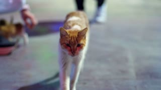 Red cat walking outdoor on road. Cat on street. Red and white big kitten walking along asphalt path. Homeless cat walking alone. Domestic animal on stroll