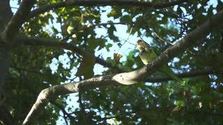 Slow motion parrots eating something among green trees. Two wild parrots sitting on tree branches. Ornithology concept