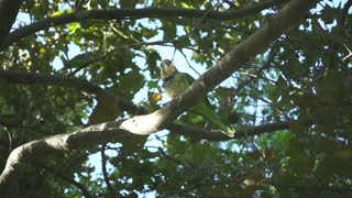 Two wild parrots sitting on tree branches. Slow motion of parrots eating something among green tree leaves. Birdwatching concept
