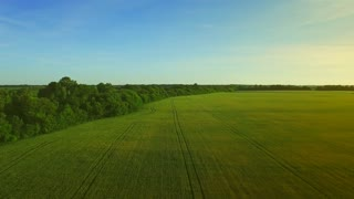 Wheat field aerial landscape. Barley agricultural field aerial view. Grain growing on summer meadow near forest. Aerial view wheat field green. Beautiful green field landscape