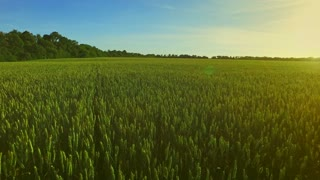 Wheat green field landscape. Summer barley field in sunny day. Green agricultural field. Grain growing on summer meadow. Aerial view wheat field green. Aerial agriculture harvest