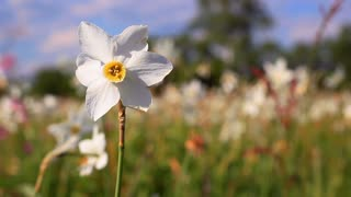 Daffodil narcissus little gem close up stock video footage white narcissus flower close up white daffodil flower in spring field spring field mightylinksfo