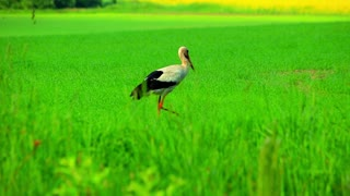 White stork walking green field. Close up of white stork bird on green grass background. Stork looking for food on grass in field. Stork searching food on meadow
