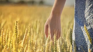 Woman hand touching wheat ear in field. Female agronomist touching wheat harvest at summer. Close up of woman farmer hand touch wheat field. Agriculture concept