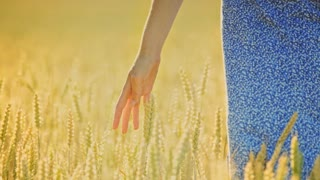 Woman hand touching wheat ears in field. Woman agronomist touching wheat stalks with love. Close up of female hand in golden wheat field