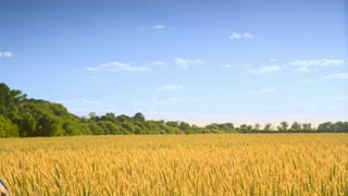 Woman walking away on harvest landscape with blue sky. Woman in wheat field landscape. Agriculture land. Lonely girl touching yellow wheat ears