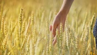 Woman wheat field. Woman hand touching barley ears. Female farmer enjoy agriculture harvest. Organic golden barley harvest. Close up of woman hand touching stalks oin field