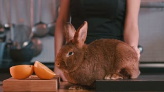 Woman's hand stroking rabbit between ears. Female stroking rabbit on kitchen table. Brown rabbit sniffing orange fruit. Shy animal. Lapin and fruit on kitchen. Brown bunny