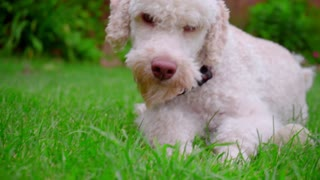 White dog looking at camera. Close up of dog face on green grass. Cute animal resting outdoor. White labradoodle. Lovely pet relaxing. White dog portrait on grass. Labradoodle puppy on lawn