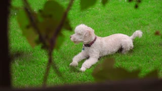White dog lying on green grass. Camera spying on white poodle lying on grass. Poodle dog resting at backyard garden. White labradoodle resting at grass. Cute pet relax