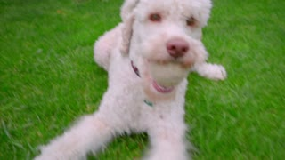White dog playing with owner. Poodle dog running with ball in mouth on grass. White labradoodle running grass. Playful dog playing toy. Funny pet playing ball. Funny pet running on green grass