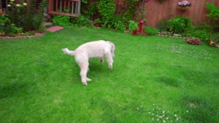 White labradoodle running grass. Playful dog on garden backyard. Happy labradoodle playing. Cheerful dog running away. White dog catch stick. Funny pet running on lawn. Happy animal playing on grass