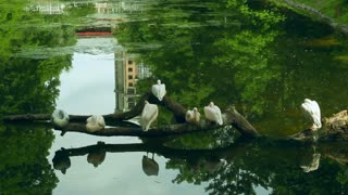 White pelicans sitting on fallen tree in middle of lake at zoological park. Group of waterfowl birds on tree at zoo pond. Wild birds on fallen tree in park lake