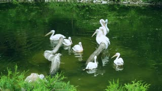 White pelicans swim in lake. Birds wildlife. Group of waterfowl birds on water. Waterfowl pelicans swim in zoological park lake. Wild birds swimming in lake at zoo. Pelicans swimming in park