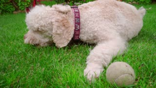 White poodle dog eating grass. Closeup of white dog lying on green lawn and eating grass. Poodle dog relaxing outdoor. Happy pet lying on green lawn. Close up of labradoodle lying down on grass