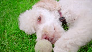 White poodle dog playing with ball on green grass. Closeup of white dog playing with ball. Puppy playing toy. Playful dog face on grass. Cute pet lying at lawn. Lovely pet resting outdoor