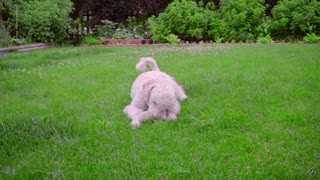 White poodle lying on green grass. Puppy playing with ball. Dog with toy. White poodle lie on green lawn. White dog with prey. Poodle dog fetch ball