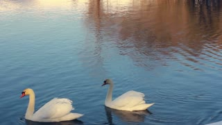 White swans in sunlight. Swans and ducks swimming in lake. Swan on blue water. Water birds swimming in lake. Reflections of tree on water. Swimming birds. Waterfowl birds in winter