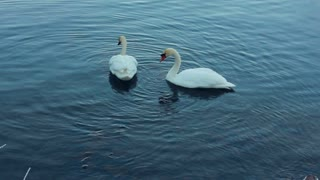 White swans swimming in lake. Swan on blue water. White birds on river. Swans on pond, nature series. White swans on water. Swan couple. One swan goes bottoms up. Swimming birds