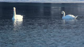 White swans swimming on frozen lake. Birds on blue water near ice. Swans on winter lake. White swans in cold water. Swan couple. Swimming birds on winter river. Beautiful birds couple.