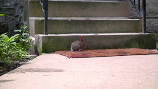Wild rabbit sitting near home stairs. Little rabbit near concrete stairs. Rabbit jumping near stairs. Wild animal house