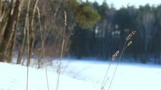 WInter background. Dry grass spikes. Dry plant in winter. Dry grass on background on snow field and winter forest. Closeup. Winter forest background. Nature background. Dry grass in wind